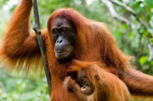Orangutan-mom-and-baby-537x357